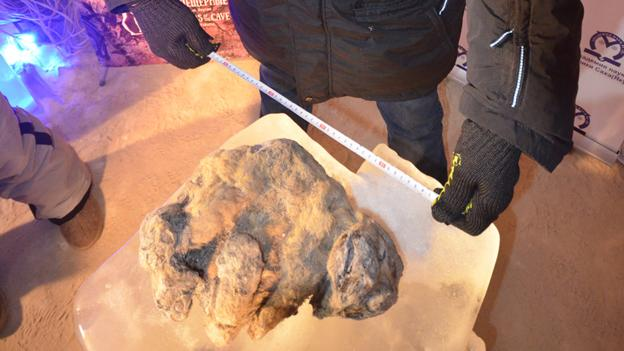 Archaeology: Cave Lion cubs found in Siberia